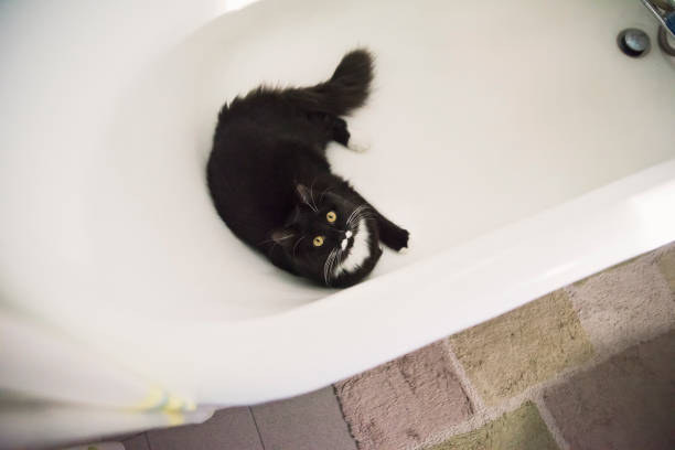 Tuxedo cat hiding in the bathtub. stock photo