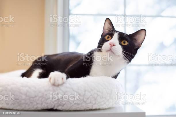 Tuxedo cat on a cat bed picture id1139565176?b=1&k=6&m=1139565176&s=612x612&h=fhaqrvasfavuuse1o7lbvkubbz02 eihugnn5aw3x7u=