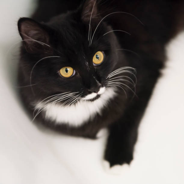 Tuxedo cat resting in the bathtub. stock photo