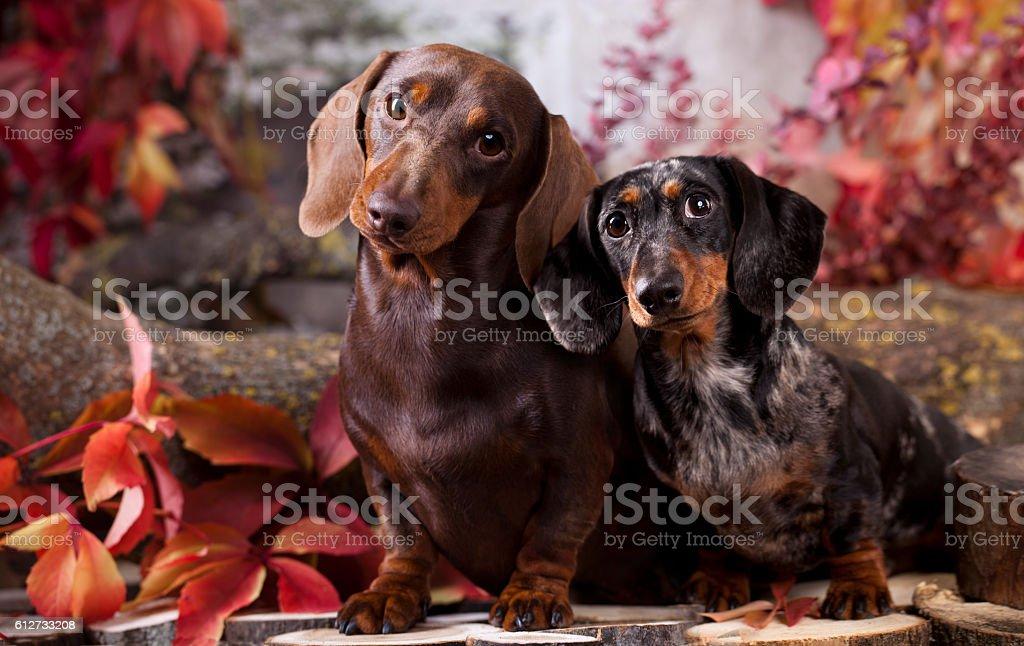 tvo dachshund dogs stock photo