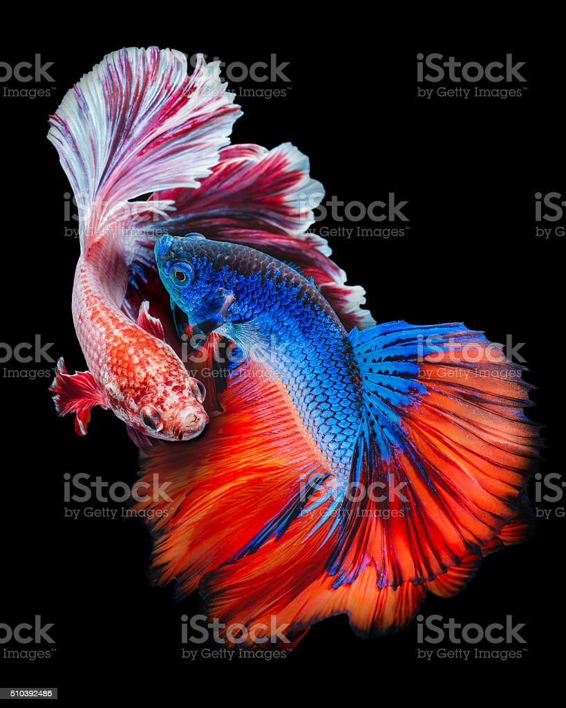 Twain Betta fish stock photo