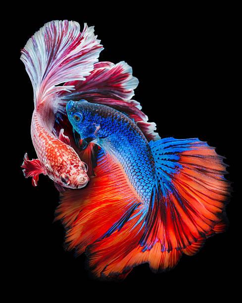 Twain Betta fish stock photo