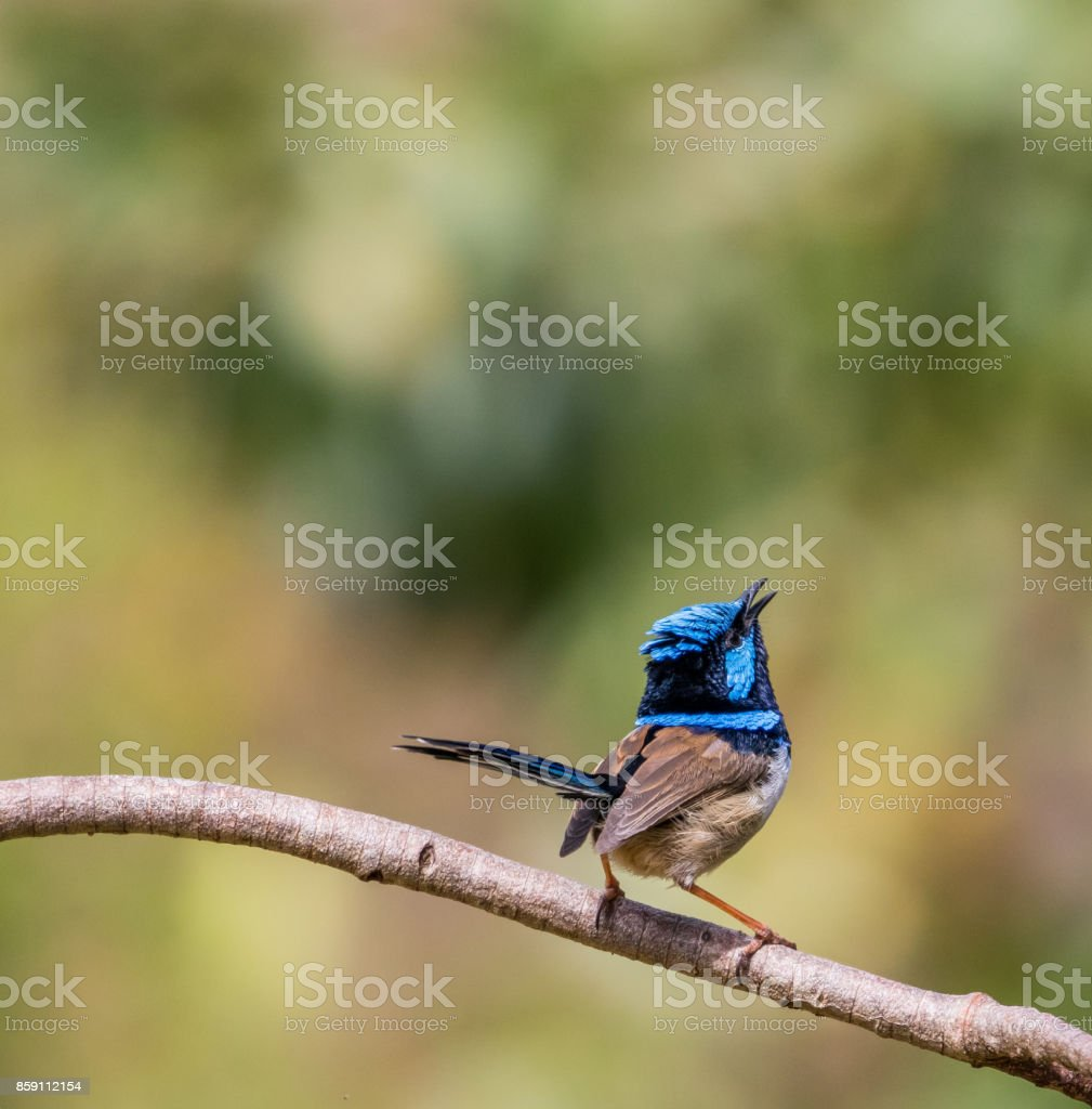 Tweeting superb fairy wren stock photo