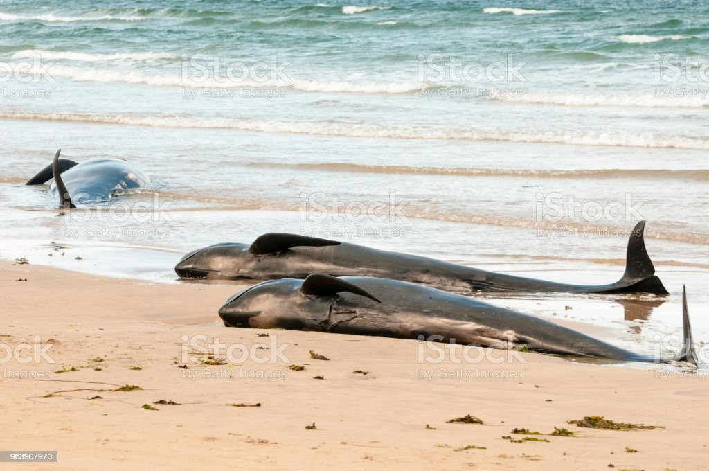 Twelve pilot whales die after beaching at Donegal, Ireland. - Royalty-free Animal Stock Photo