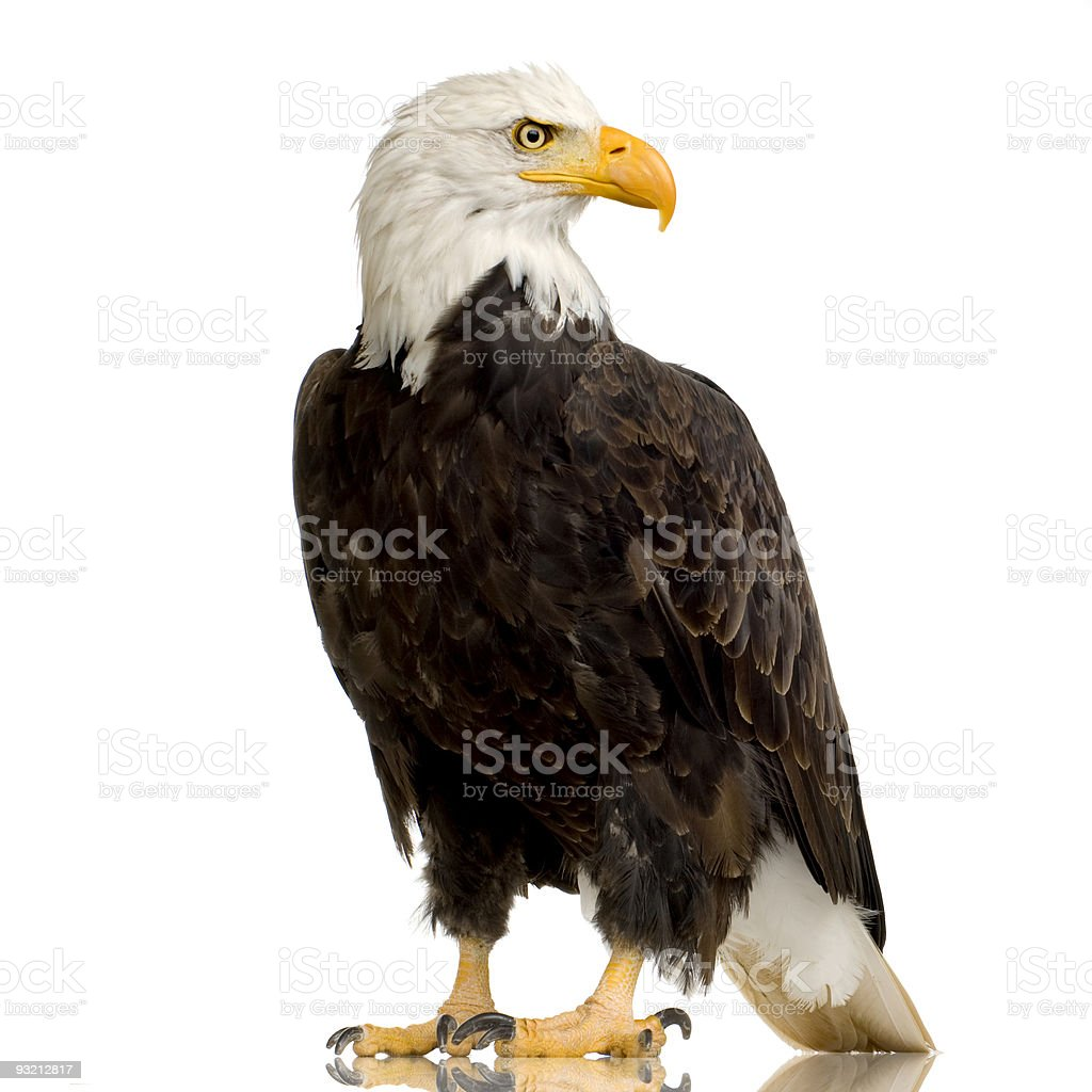 A twenty year old Bald Eagle or the Haliaeetus Leucocephalus stock photo