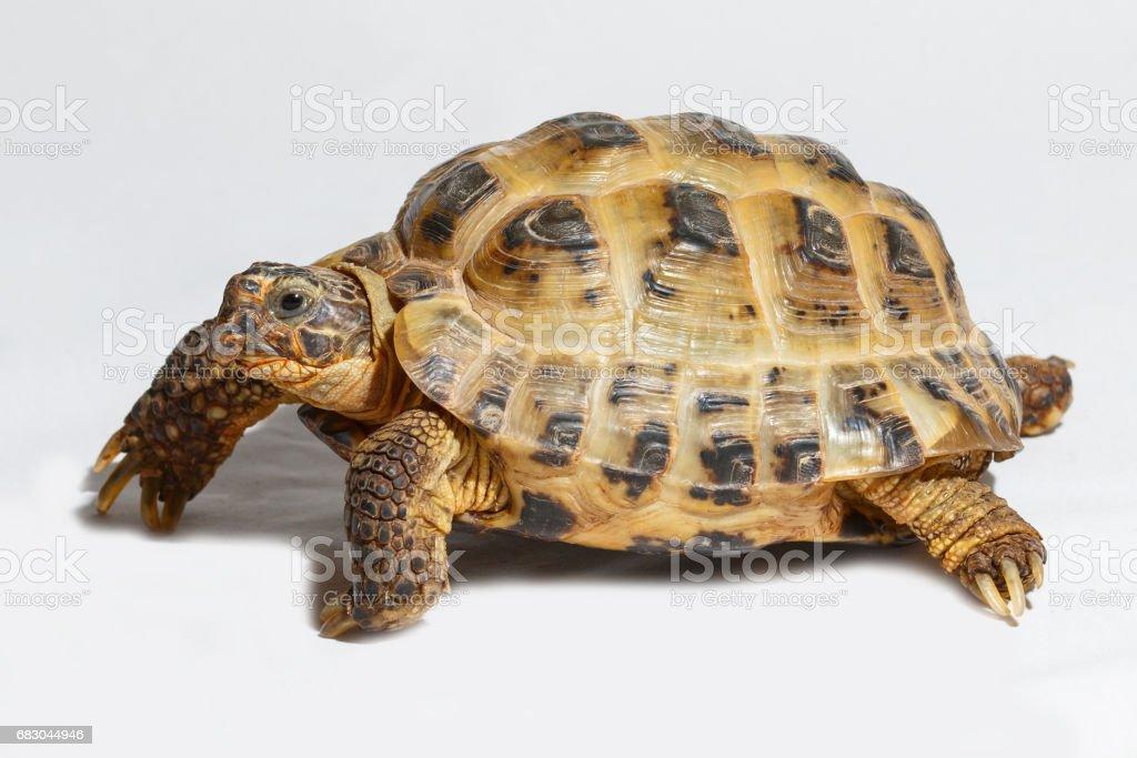 Twenty years old turtle Testudo horsfieldii on white background foto de stock royalty-free