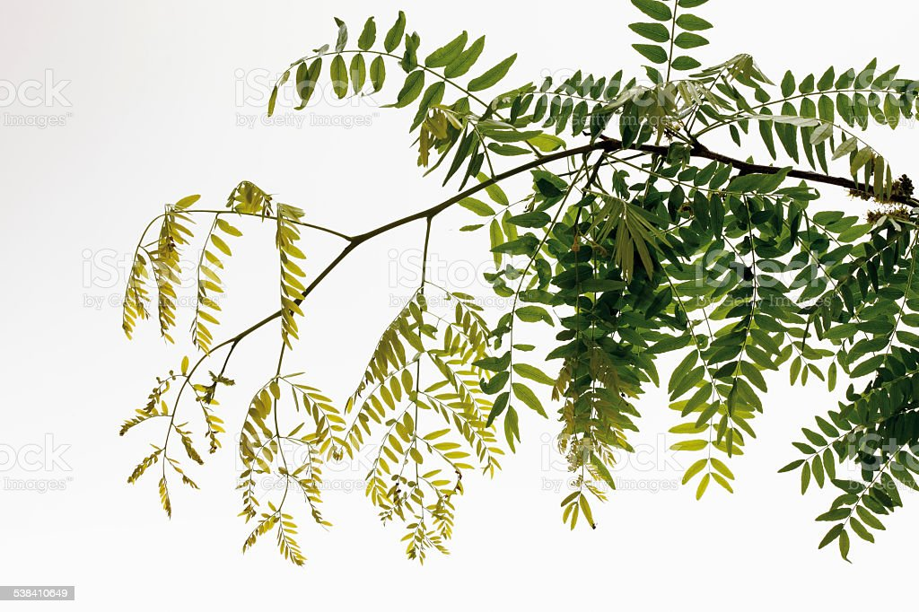 Twig and leaves of honey locust (Gleditsia triacanthos) stock photo