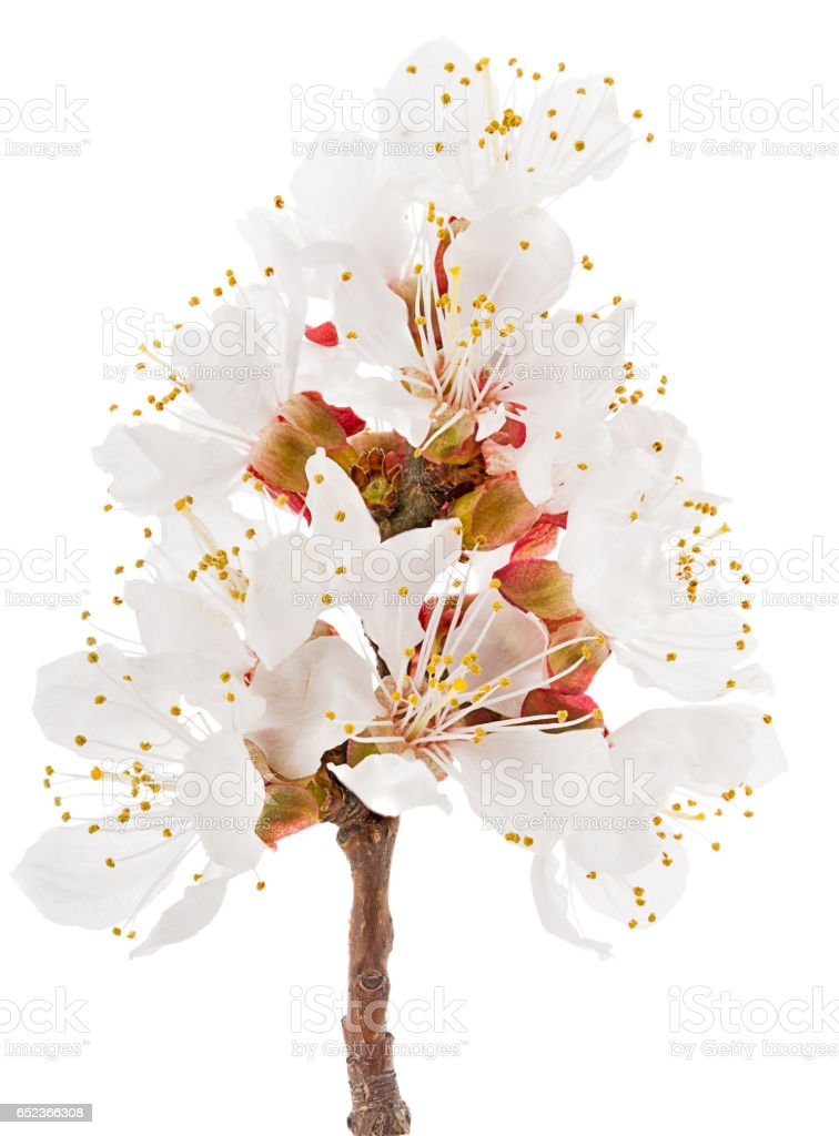 twig blossoming apricot stock photo