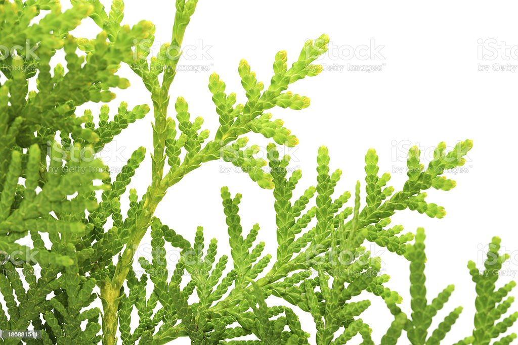 Twig of American Arborvitae on White Background stock photo