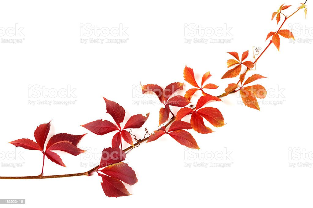 Twig of autumnal grapes leaves stock photo