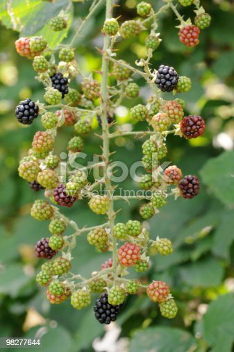 Twig Of Blackberries Stock Photo & More Pictures of August