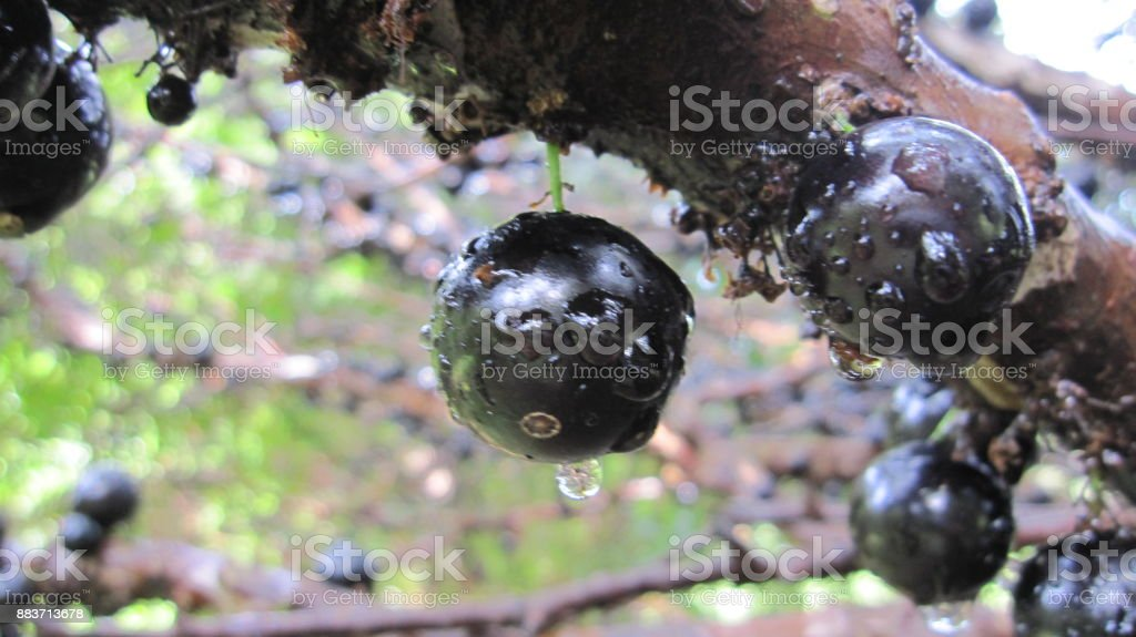 Twig of brazilian grape tree after a rain stock photo