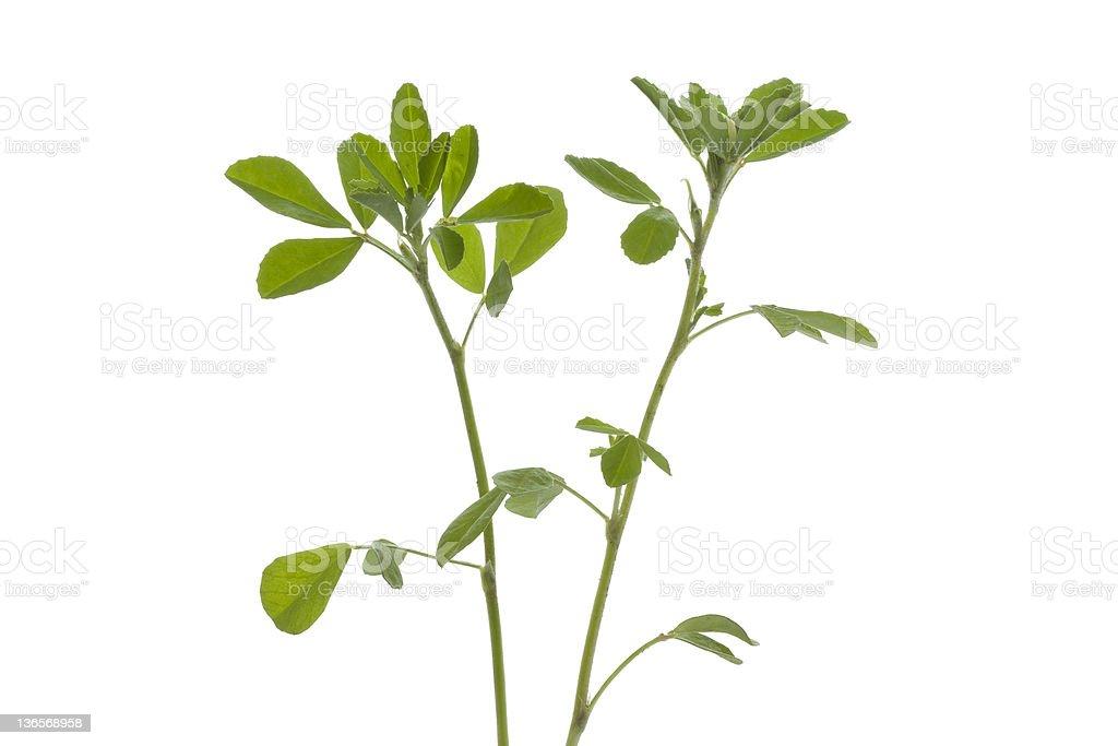 Twig of Fenugreek stock photo