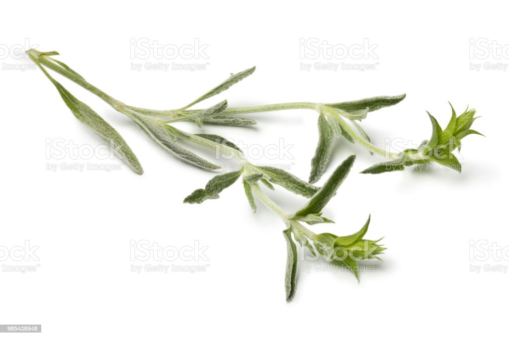 Twig of fresh green ironwort royalty-free stock photo