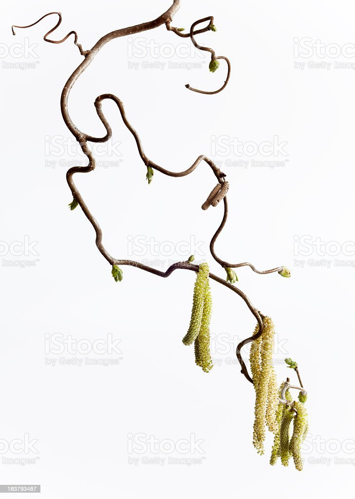 Twig of Hazel tree with blossoms isolated on white(XXL) royalty-free stock photo