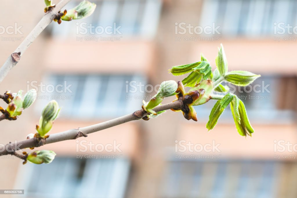 twig of horse chestnut tree in city in spring day Lizenzfreies stock-foto