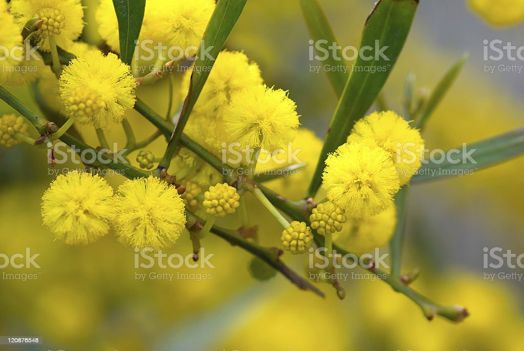 Twig of mimosa tree with blooming yellow flowers in spring. stock photo