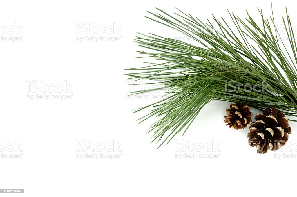 Twig of Pine Tree and Natural Pine Cones – Foto