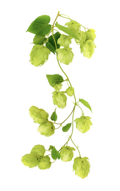 twig of ripe green hop on white background stock photo