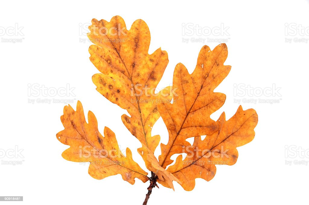twig of the oak with leaves in fall color royalty-free stock photo
