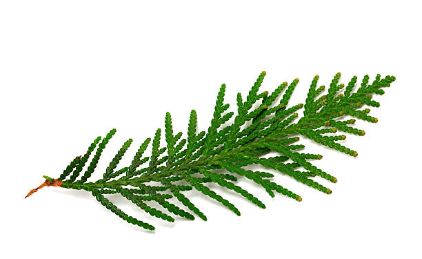 twig of thuja on white background - cypress tree stock photos and pictures