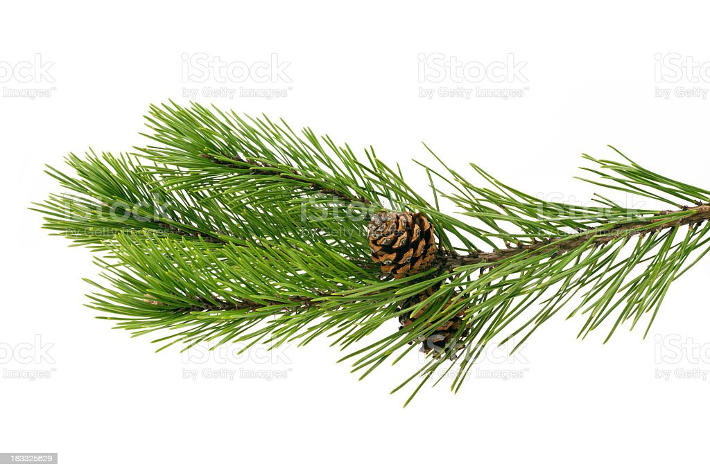 Twig pine with cone on a white background royalty-free stock photo