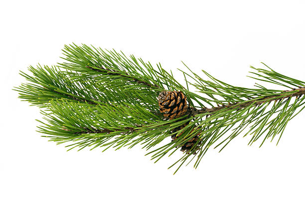 Twig pine with cone on a white background stock photo