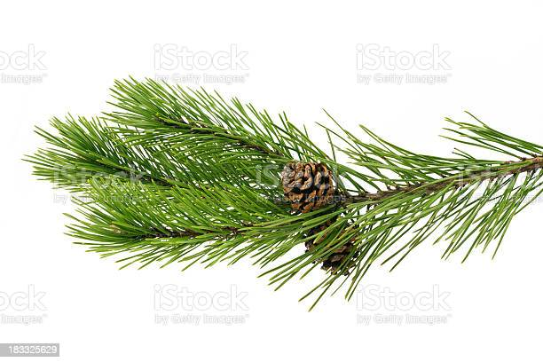 Photo of Twig pine with cone on a white background