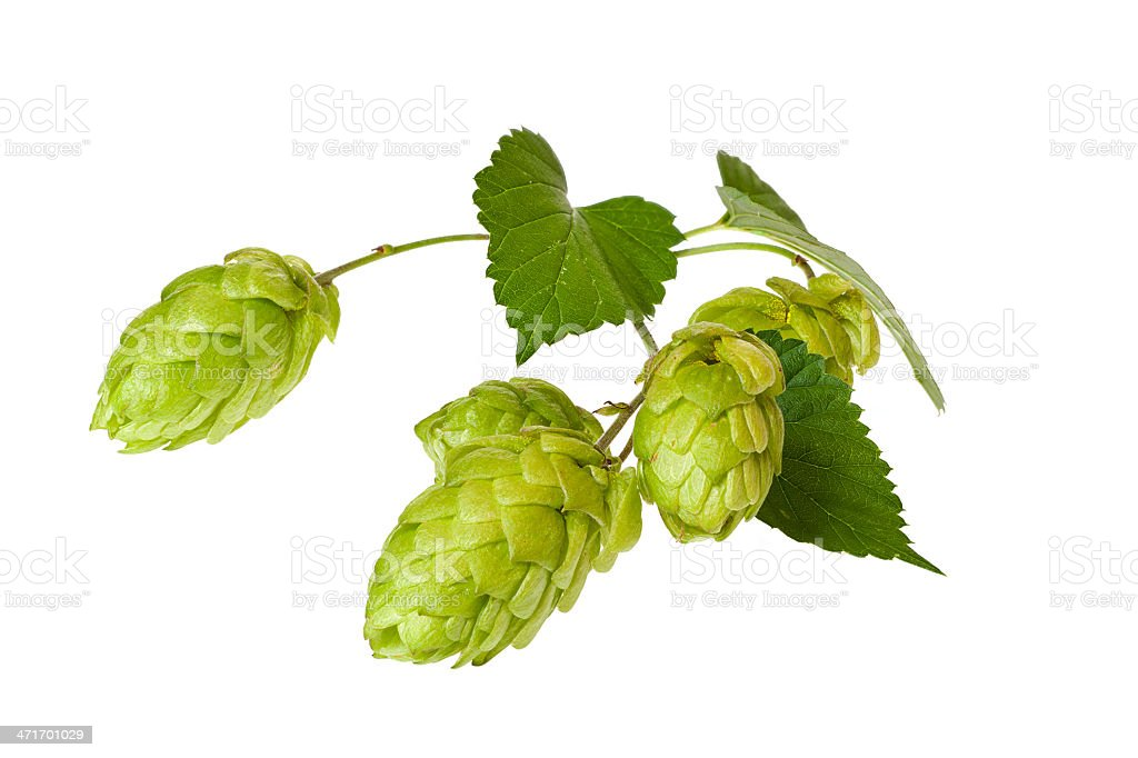 Twig with four green hops and leaves on a white background stock photo