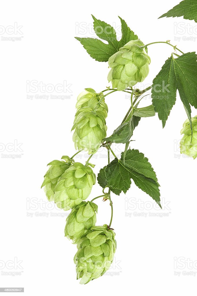 Twig with hop stock photo