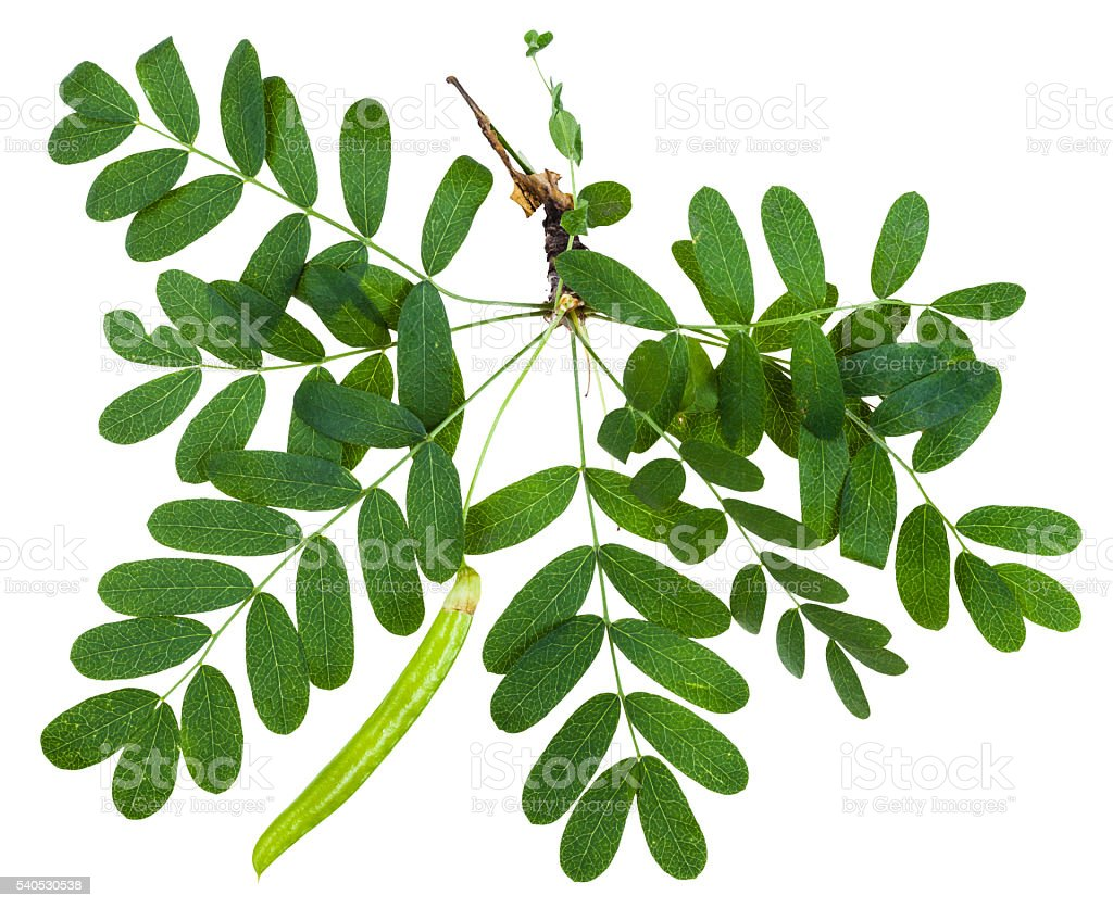 twig with leaves and pod of Caragana arborescens stock photo