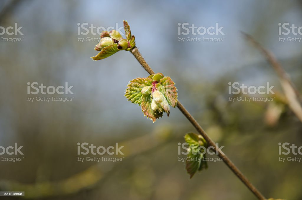 Twig with new hazel leaves stock photo