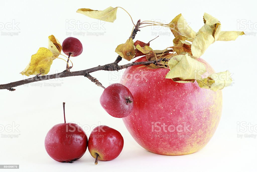 twig with red ripe apple royalty free stockfoto