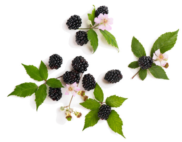 Zweige von Blackberry über Ansicht. – Foto