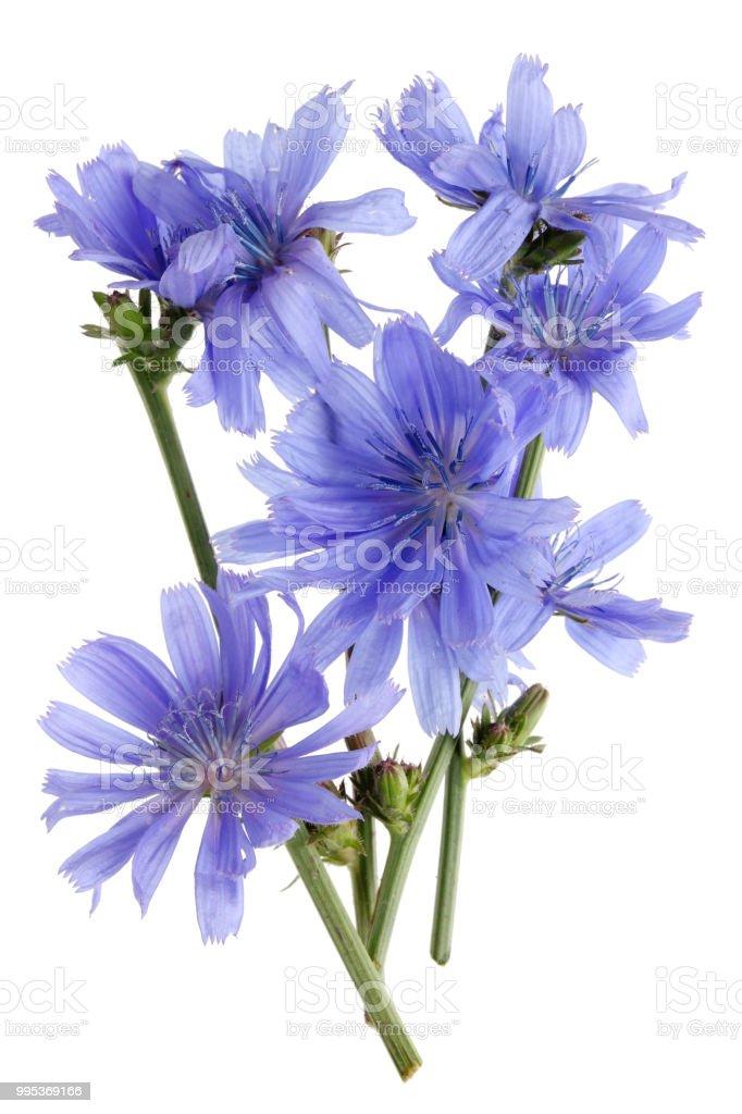 Zweige Von Feldchicoréepflanze Mit Zarten Blauen Blüten Stockfoto