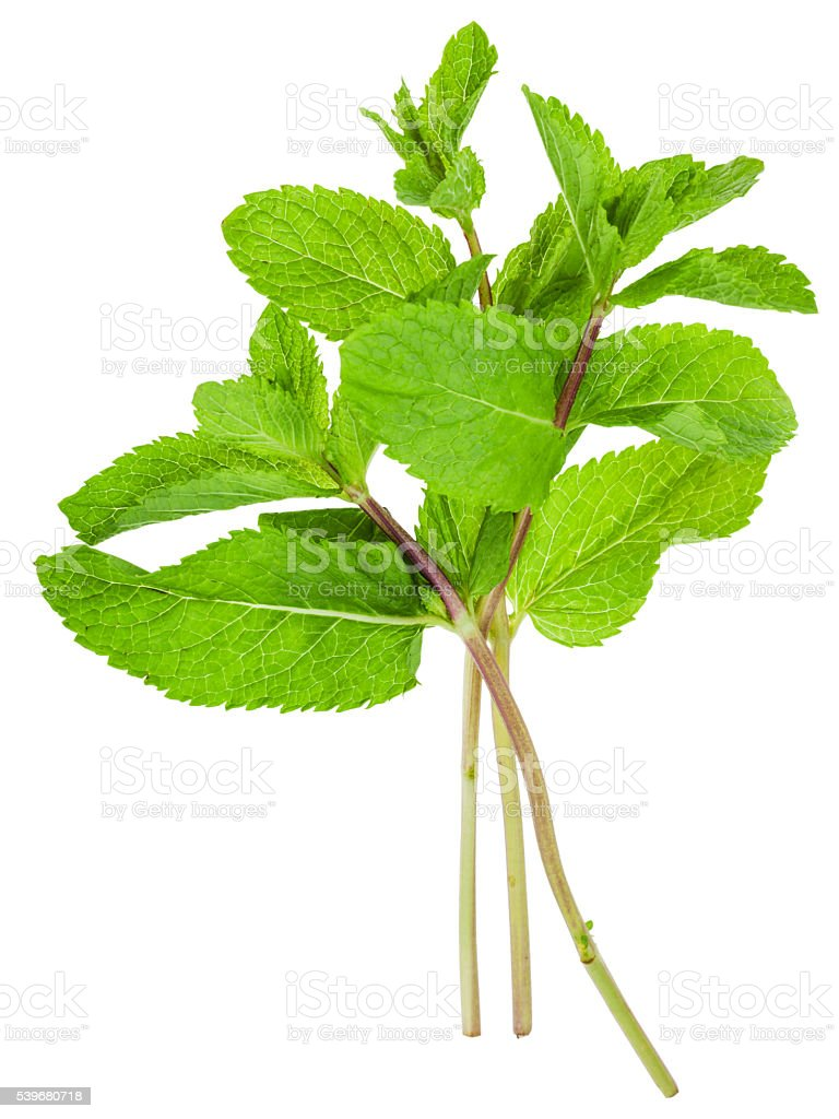 twigs of fresh green mint (Peppermint) isolated stock photo