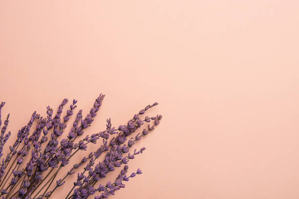 twigs of lavender flowers arranged in lower border on solid pink background. easter mother's day wedding wellness cosmetics concept. minimalist style. website banner template copy space - botany stock pictures, royalty-free photos & images