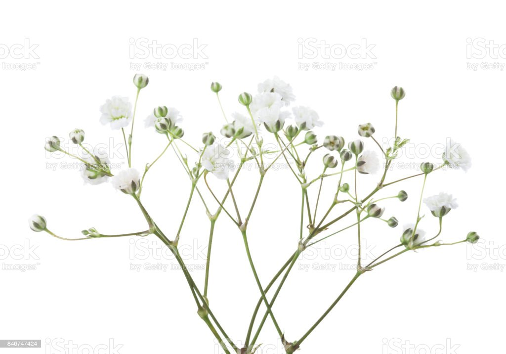Twigs with flowers of Gypsophila isolated on white background. stock photo