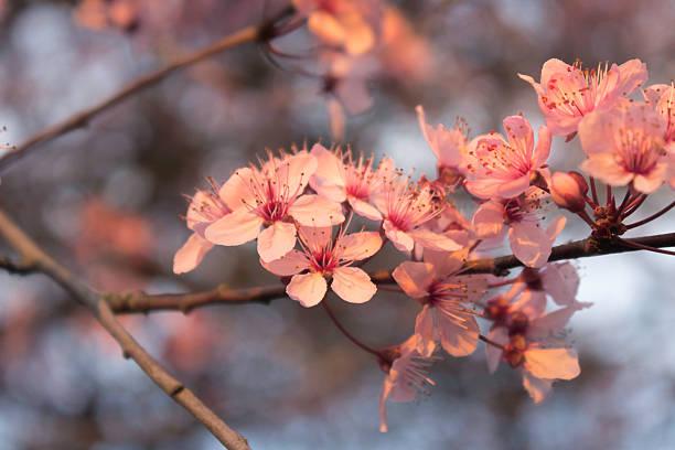 Dämmerung Kirsche Blüten – Foto