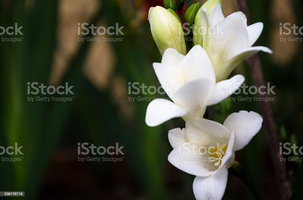 Twilight Freesia stock photo