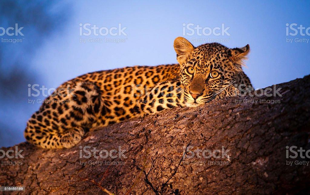 Twilight Leopard Cub stock photo