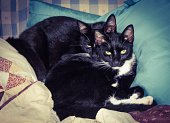 Twin black cats with yellow eyes