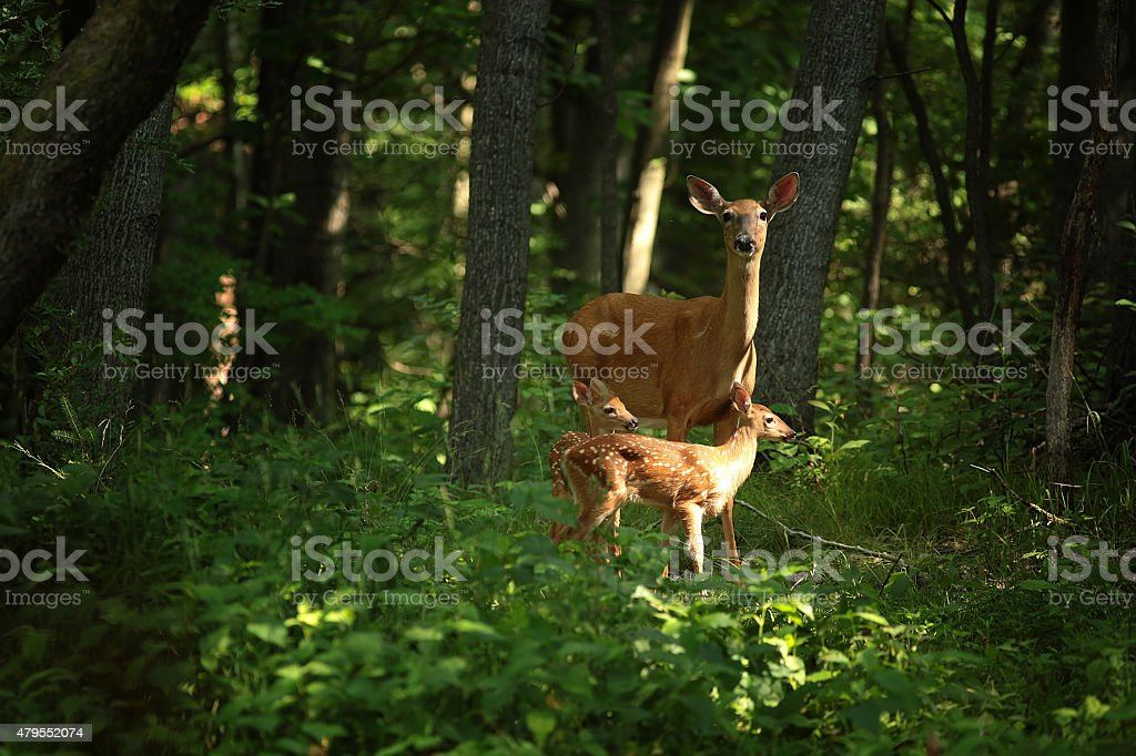 twin fawns wit mother stock photo