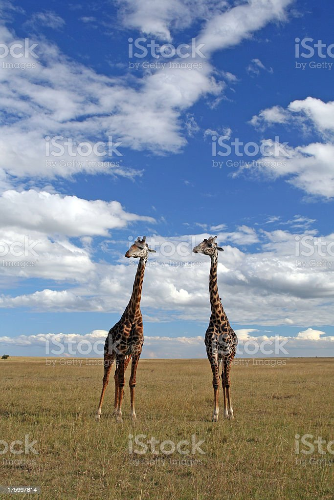 Twin Giraffes royalty-free stock photo