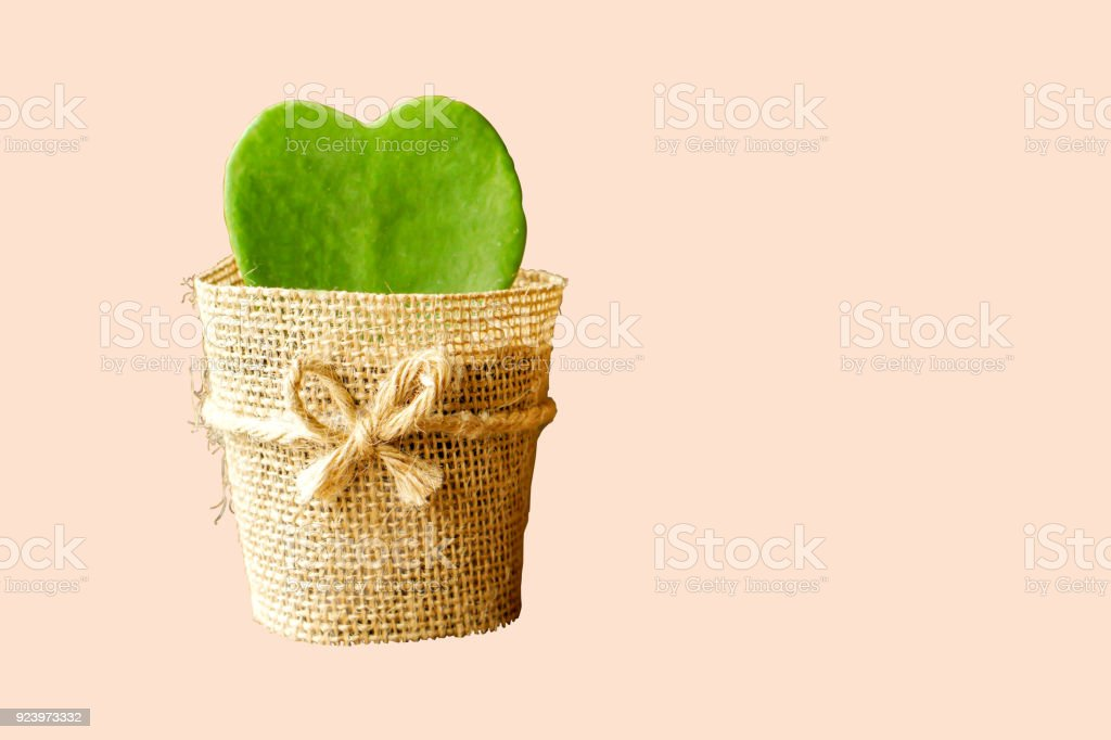 Twin HOYA CACTUS in sackcloth flower pot stock photo