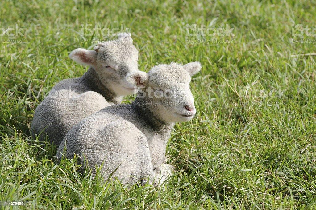 Twin lambs in the sun royalty-free stock photo