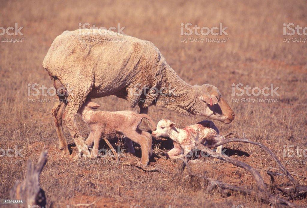 Twin lambs stock photo