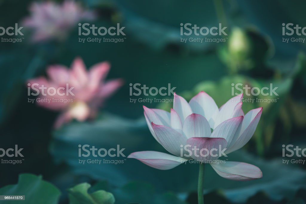 twin lotus flowers on one stalk royalty-free stock photo