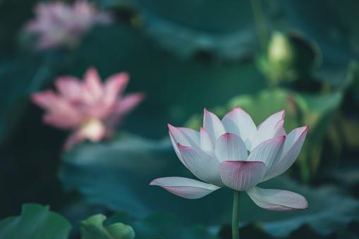 트윈 바하이 꽃 한 몰래 접근하다 0명에 대한 스톡 사진 및 기타 이미지