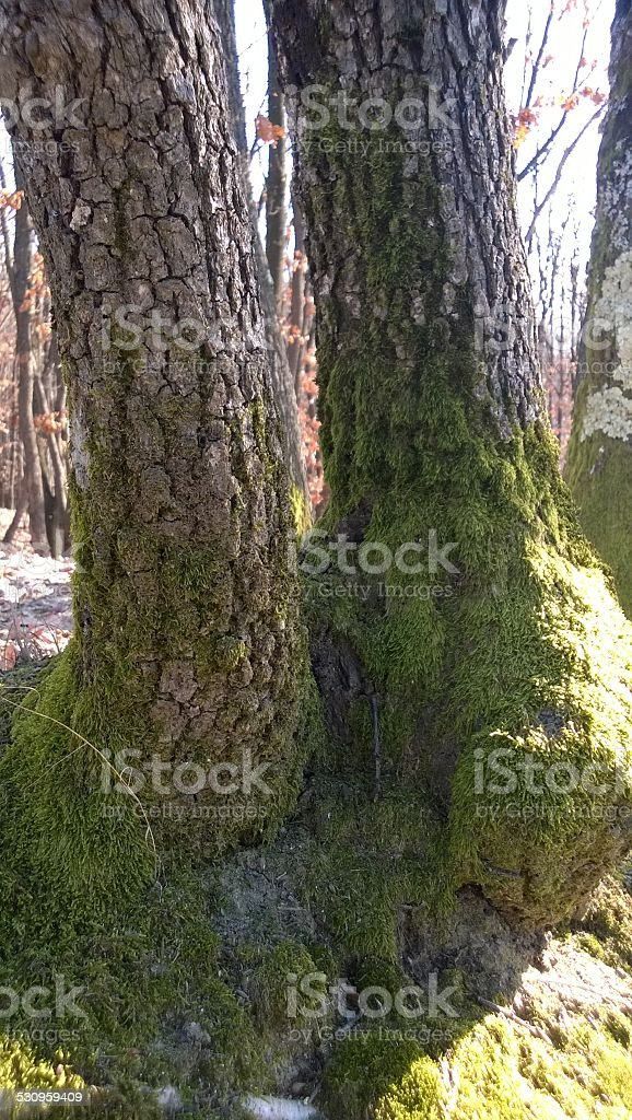 Twin oak trees royalty-free stock photo